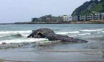 シロナガスクジラの子どもと判明した死骸=6日午前10時5分ごろ、由比ケ浜海岸