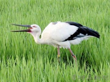 水田で餌を食べるコウノトリ。背中にはGPSのアンテナが付けられている=7月29日、埼玉県行田市内(提供)