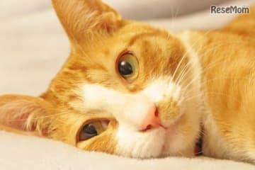 8月8日は「世界猫の日」愛猫の健康や安全・動物愛護を考える(画像はイメージ)