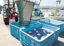 漁船から水揚げされるミズダコ=3日、宮城県南三陸町の志津川港