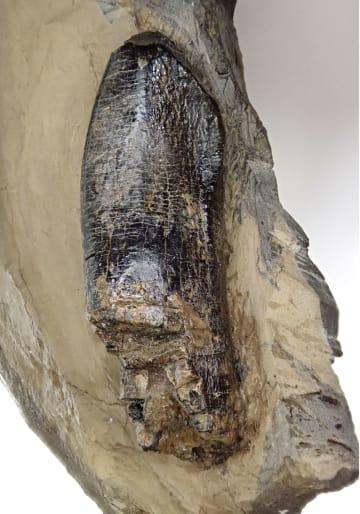 徳島県勝浦町で発見された竜脚類恐竜の歯の化石(徳島県立博物館提供)