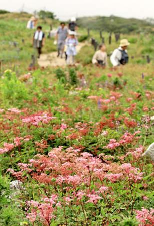 ピンクのシモツケソウや青紫色のルリトラノオが伊吹山の山頂付近を彩る(10日午後1時5分、米原市)