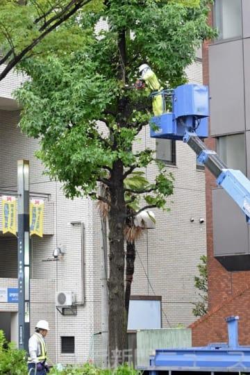街路樹の枝を刈り取る作業員=7日夕、前橋市古市町