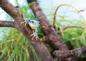 珍しい青いニホンアマガエル
