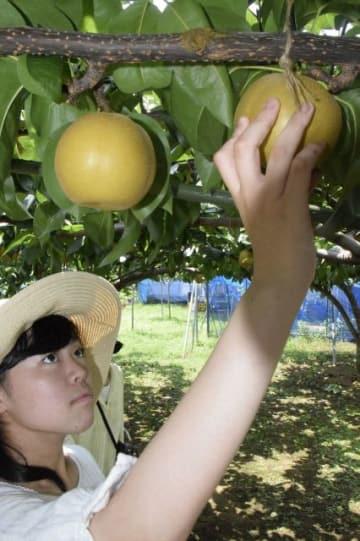 多摩川クラブが開いた梨の収穫体験=川崎市多摩区生田
