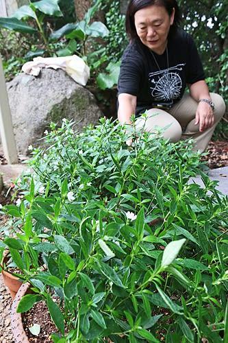【栽培を進めている南方熊楠ゆかりの植物「イセハナビ」(和歌山県白浜町で)】