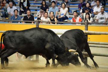 愛媛県宇和島市で開催された定期闘牛大会=14日午後