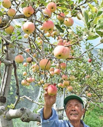 赤く色づき始めたリンゴ=美馬市脇町横倉