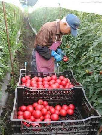 最盛期を迎えた高原トマトの収穫=15日、妙高市