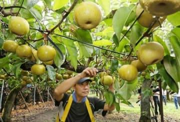 日本ナシのわせ品種「幸水」を収穫する渡辺英樹さん=16日、新潟市南区