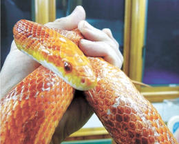 ペットとして人気のあるコーンスネーク。ヘビは手間要らずで1人暮らしでも飼いやすい