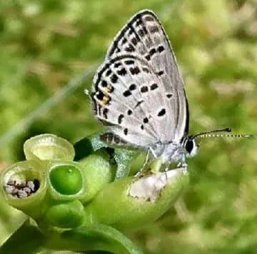 外来種チョウを福岡で発見 ムシャクロツバメシジミ 園芸植物の輸入で侵入? [福岡県]