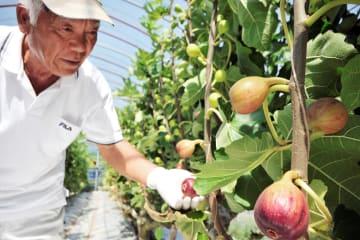 イチジクを収穫する宰川壽之さん=天草市