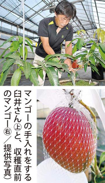 県内初の鉢植えマンゴー 臼井園芸 来年出荷めざす
