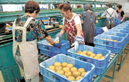 ナシの初出荷へ、選果作業に励む生産者ら