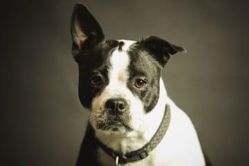 子犬工場 パピーファーム 規制 イギリス 英国 ペット 子犬 仔猫 生後6ヶ月未満
