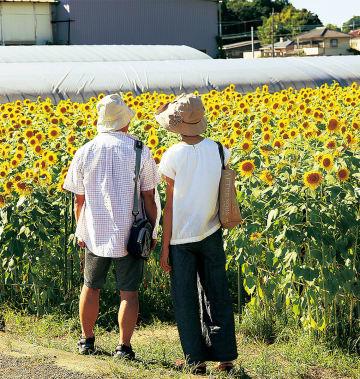 1面に咲くヒマワリを眺める見物人(8月18日撮影)