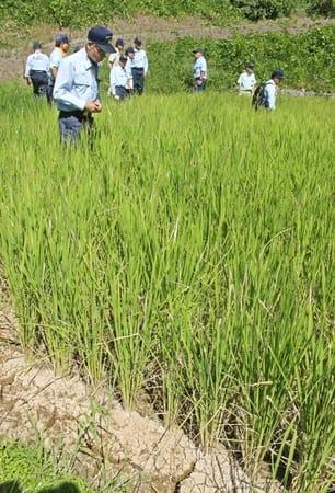 干ばつ被害を受けた水田で稲の生育を確認する市議=23日、上越市牧区