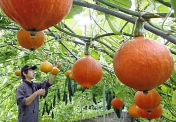 ビニールハウスの骨組みにつるをはわせ栽培する「空飛ぶカボチャ」=27日午後、北海道長沼町