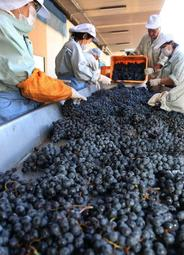 収穫後、選別される赤ワイン用のブドウ=神戸ワイナリー