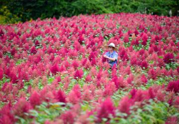 赤紫に色づき、畑一面に広がるアマランサス=27日、軽米町晴山