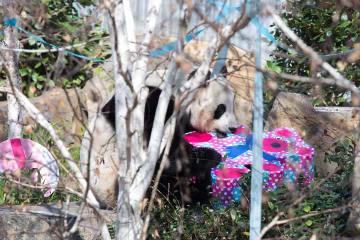ジャイアントパンダ、 豪動物園で誕生日を祝う