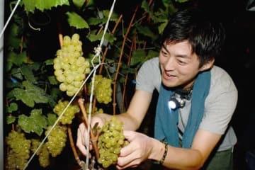 白ワイン「菊鹿ナイト・ハーベスト」用のブドウを摘み取るワイン愛好家=28日午前3時50分ごろ、山鹿市