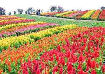 園内に咲き誇る色とりどりのケイトウ=28日午前、那須町豊原丙