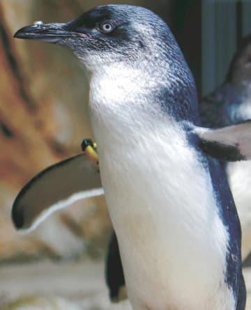 コガタペンギンは、ペンギンの中で世界最小の種類。雌のツキは背の高さが27センチ、体重が834グラム。コガタペンギンの中でも小さい方だ。穏やかな性格だという