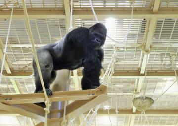 新しい展示施設に引っ越したニシローランドゴリラ「シャバーニ」=7月(東山動植物園提供)