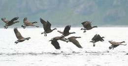 シジュウカラガンの群れ。首輪のない幼鳥が含まれていた=千島列島シャシコタン島(私市一康さん撮影)