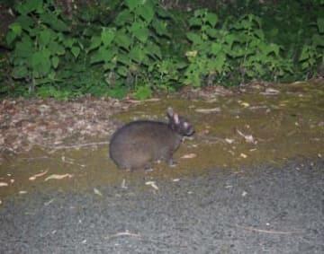 アマミノクロウサギ。(写真:筑波大学発表資料より)