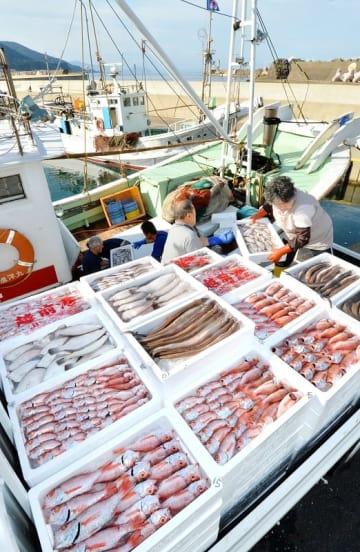 底引き網漁が解禁となり、次々と水揚げされるノドグロなどの鮮魚=9月2日午前7時40分、福井県越前町大樟の越前漁港