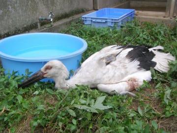 保護されたコウノトリのだいち(県鳥獣センター提供)=29日午後3時45分ごろ、那珂市戸