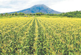 岩木山を背景に、一面に広がるトウモロコシ畑。昼夜の寒暖差が大きい環境下で、甘みを増しながら育つ=弘前市嶽地区の小田桐農園