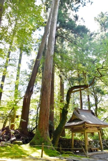 幹が裂け、隣の木に寄りかかり、倒木の恐れがある白山平泉寺の参道のスギ=9月3日、福井県勝山市平泉寺町平泉寺