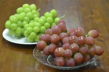 山梨県が開発した新品種のブドウ。奥は通常のシャインマスカット