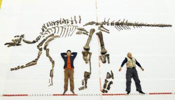 岩などから取り出す作業を終え、報道陣に公開されたハドロサウルス科恐竜の化石。頭から尾までの全長は8メートル超とみられる=4日午後、北海道むかわ町