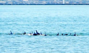 小浜湾の海岸近くに現れたイルカの群れ=9月5日午前、福井県小浜市西勢から撮影