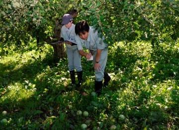 リンゴの落果の状況を調べる市職員ら=5日午前、弘前市悪戸地区