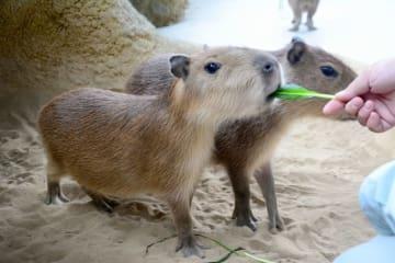 飼育員から餌をもらうカピバラ=9月4日、福井県福井市の足羽山公園遊園地の「ハピジャン」