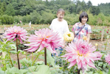 色とりどりの花を咲かせたダリア=6日午後、小鹿野町両神薄の両神山麓花の郷「ダリア園」