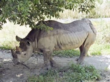 広島市安佐動物公園で飼育されていたクロサイの「ハナ」(同園提供)