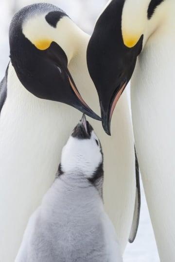 『皇帝ペンギン ただいま』より - (C) BONNE PIOCHE CINEMA - PAPRIKA FILMS - 2016 - Photo : (C) Daisy Gilardini