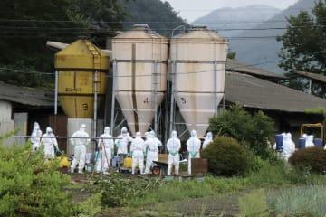 豚コレラのウイルス感染が確認された養豚場で、殺処分の準備をする関係者=9日午前8時4分、岐阜市