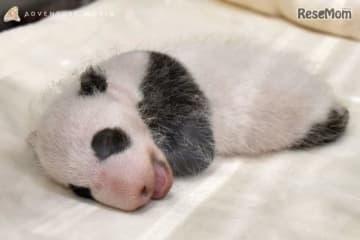 アドベンチャーワールド(和歌山県白浜町)で、2018年8月14日に誕生したジャイアントパンダの赤ちゃん(メス、写真)が28日齢を迎えた