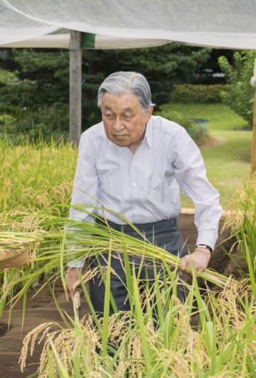 皇居内の田んぼで稲刈りをされる天皇陛下=12日午後、皇居(宮内庁提供)