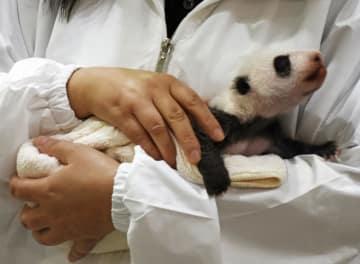 Giant panda cub in Wakayama