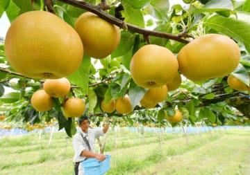 たわわに実ったナシ「あきあかり」を収穫する高橋睦郎さん=13日、一関市花泉町花泉