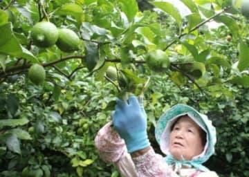 たわわに実ったマリンレモンを収穫する広津留勝子さん=14日、佐伯市鶴見